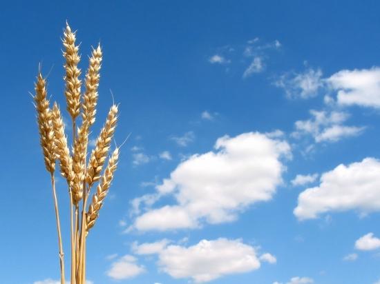 Wheat1_1024x768.jpg